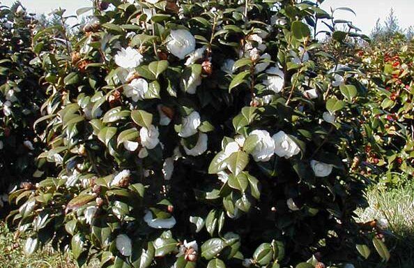 White By The Gate Camellia
