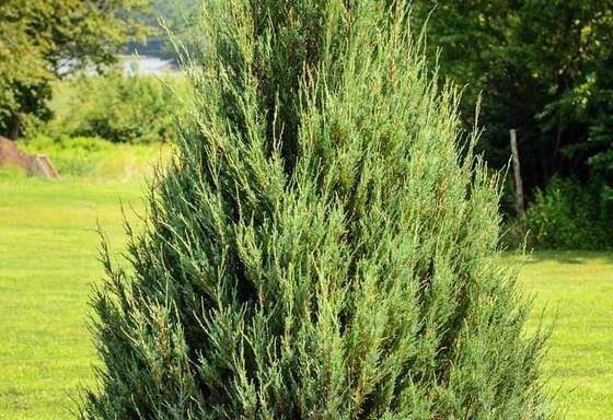 Eastern Red Cedar