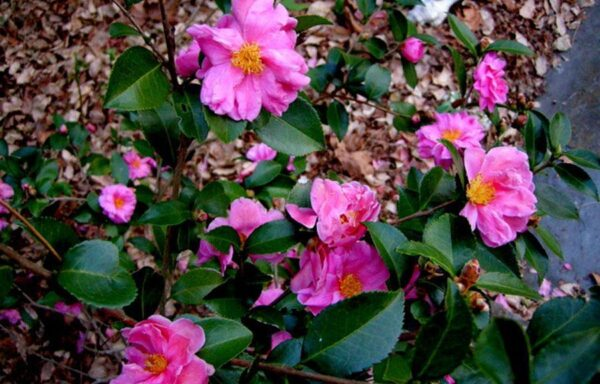 Winter's Joy Camellia