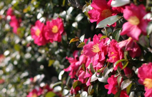 Hiryu Camellia