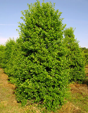 Greenleaf Holly
