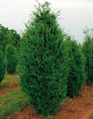 Burkii Eastern Red Cedar