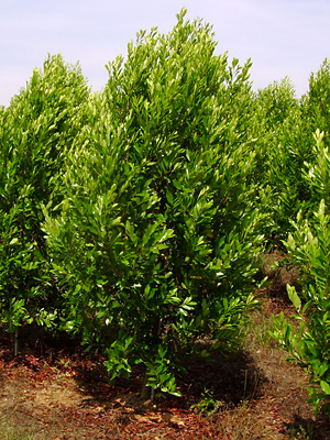 Bright n Tight Cherry Laurel