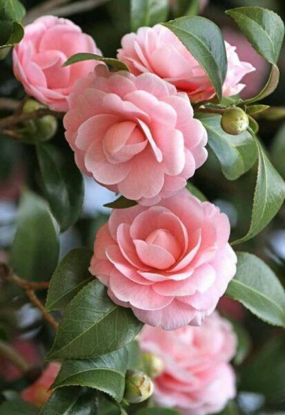 Star Above Star Camellia