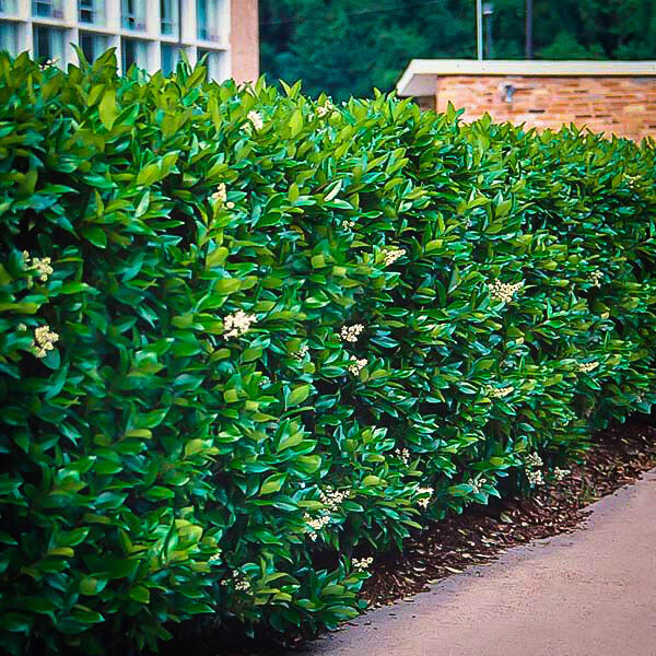 Wax Leaf Privet